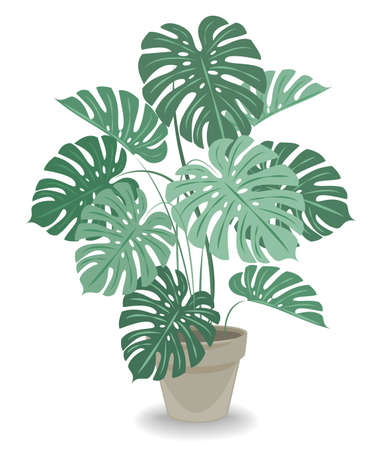 Indoor flowerpot in a beautiful pot. Big monstera, large leaves. Favorite plant of oviducts. Vector illustration. 向量圖像