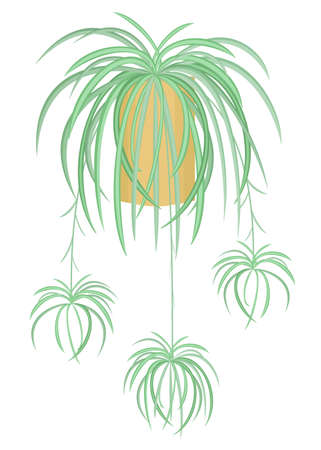 Indoor plant in a pot. Adult chlorophytum with children. Hanging ampel tropical flowerpot. Vector illustration Ilustracja