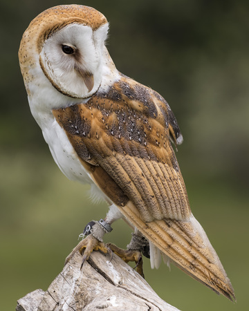Barn Owl on a perch