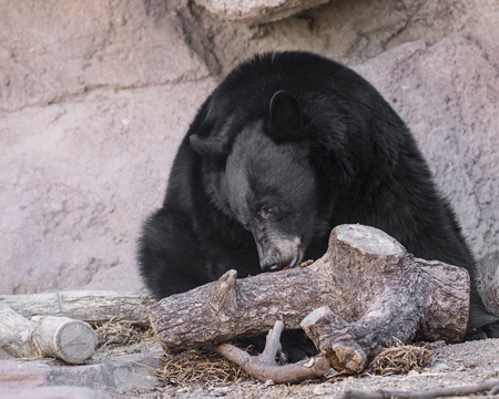 Black Bear looking for treats