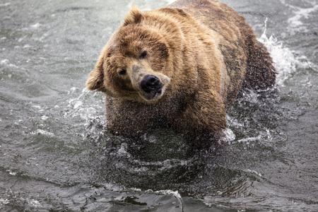 Katmai Brown Bear shaking the water out of his ears