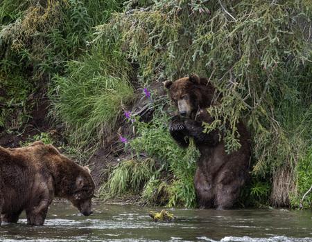 Katmai Brown bears arguing over territory