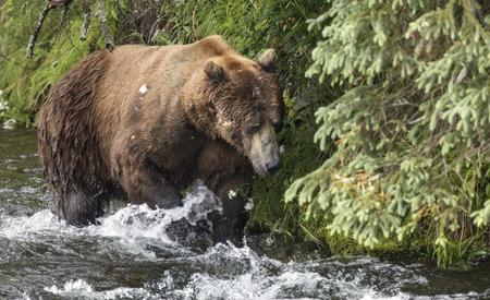 Katmai Brown Bear in the river Stock Photo
