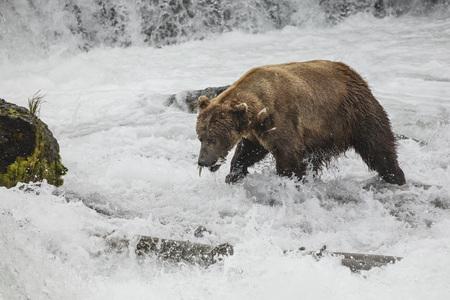 Katmai Brown bear at Brooks Falls Alaska