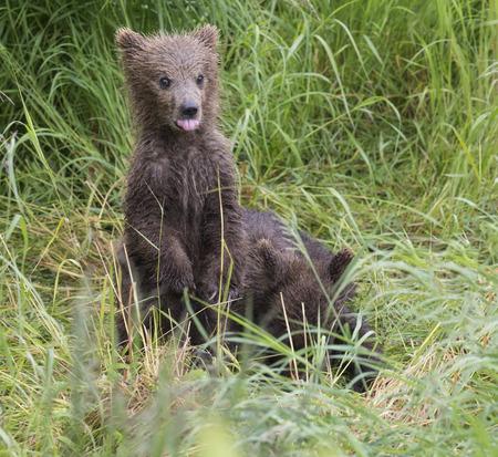 Katmai Brown bear cubs Stock Photo
