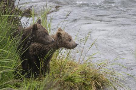 Katmai Brown bear yearling cubs