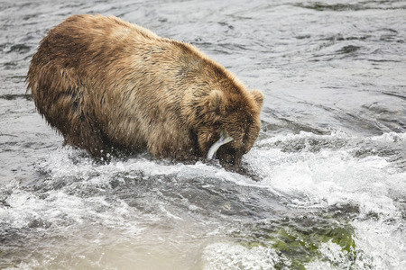 Katmai Brown Bear with a fish  in the Brooks River