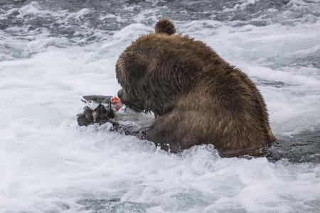 Katmai Brown bear has caught a salmon Stok Fotoğraf