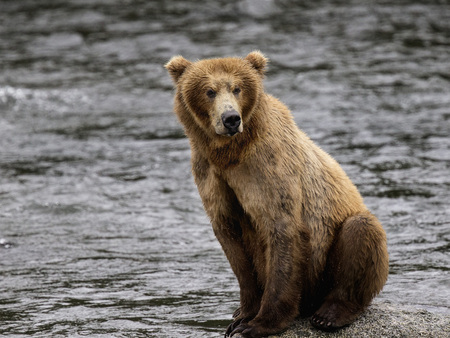 Katmai Brown Bear in the Brooks River Stock Photo