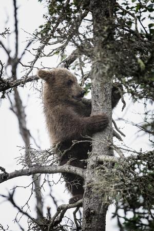 Katmai Brown Bear Cub in a tree