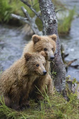 Katmai Brown Bear yearling cubs Stock Photo