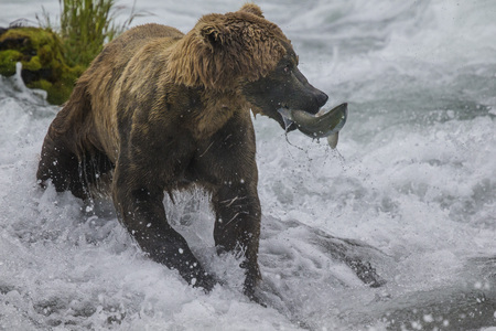 Katmai Brown Bear has caught a fish  in the Brooks River,