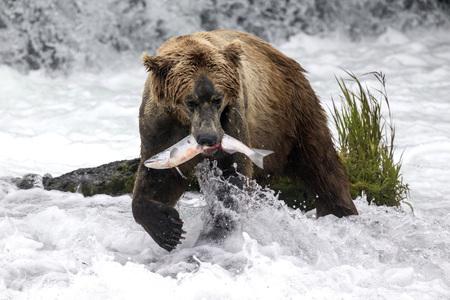 Katmai Brown Bear has caught a fish  in the Brooks River,  Alaska 스톡 콘텐츠