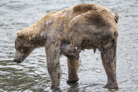 Katmai Brown Bear scratchng an itch Stock Photo