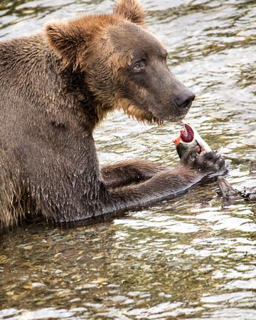 Katmai Brown Bear eating a fish that he caught Stok Fotoğraf