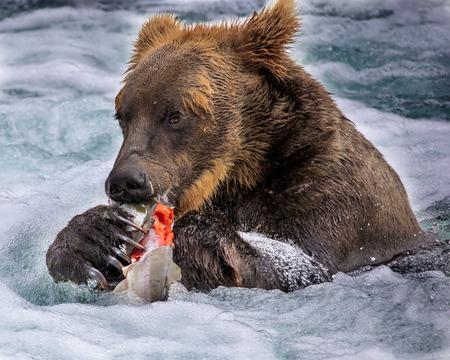 Katmai Brown Bear has caught a fish Stok Fotoğraf