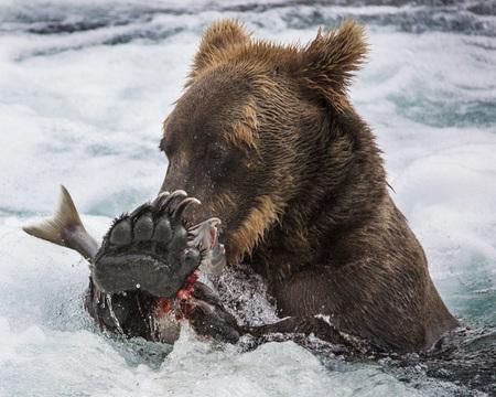 Katmai Brown Bear has caught a salmon fish