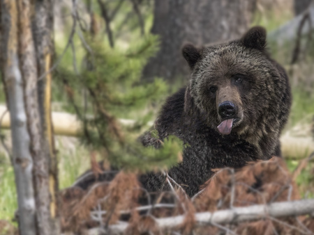 Mama Grizzly Bear sticking her tongue out at the camera