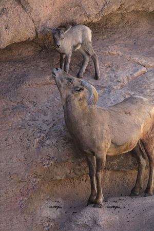 Desert Bighorn Sheep and Lamb