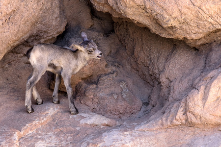 Desert Bighorn Sheep Lamb 版權商用圖片