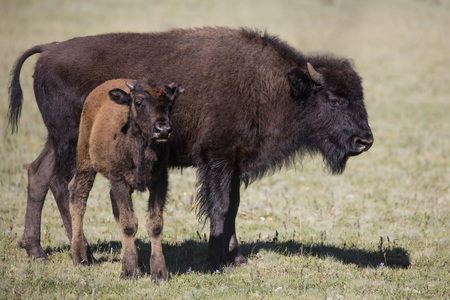 American Bison Cow and Calf Grand Canyon National Park 스톡 콘텐츠