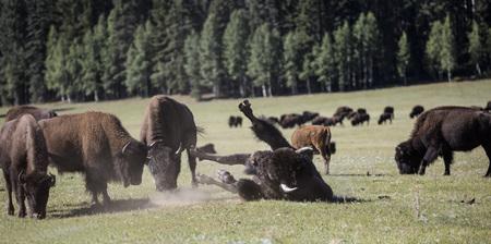 American Bison herd Grand Canyon Natinal Park, Arizona USA