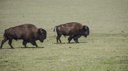 American Bison bulls on the move across the meadow