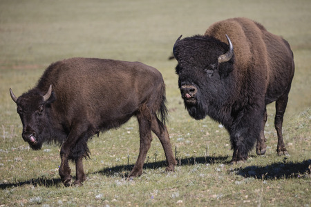 American Bison meandering in the meadow Stock Photo