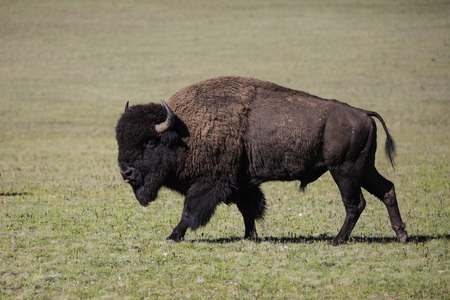 American Bison Bull on the move