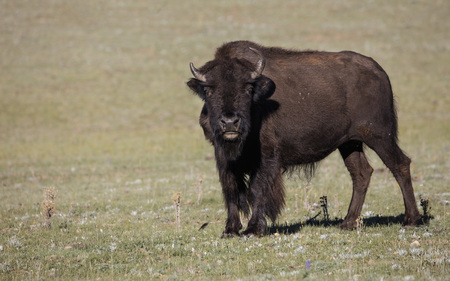 American Bison gazing at the camera