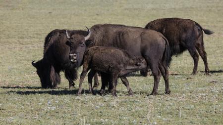 American Bison herd Stok Fotoğraf