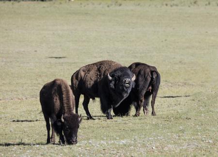 American Bison bull curling his lip flehming