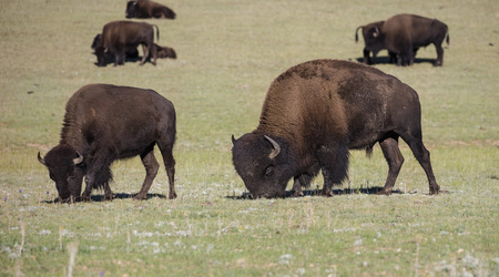 American bison grazing peacefully