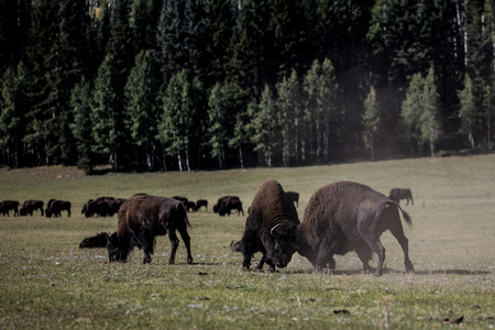 American Bison bulls fighting