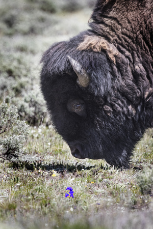 American Bison smelling the flowers