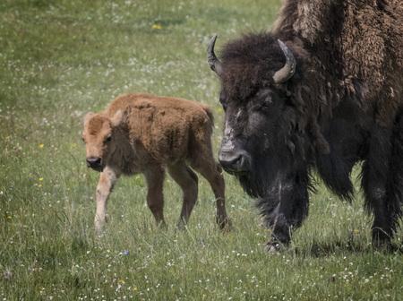 American bison mother and calf 版權商用圖片