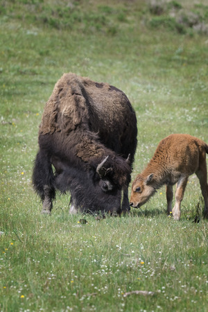 American Bison mother and calf