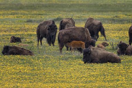 American Bison herd 版權商用圖片