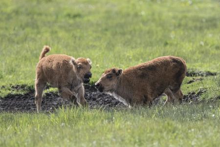American Bison calves playing