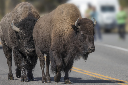 American Bison strolling down the highway