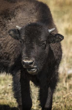 American Bison yearling calf