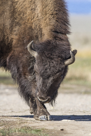 American Bison apppears to be bowing for the camera 스톡 콘텐츠