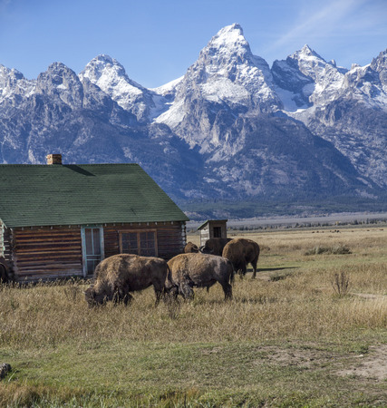 American Bison grazing in front of a cabin