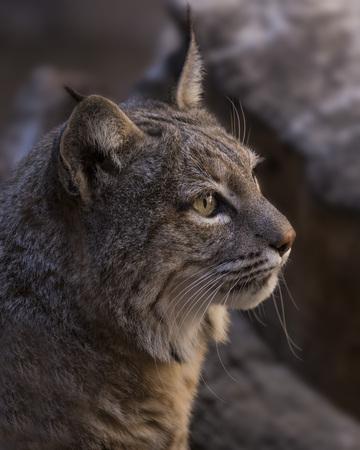 Bobcat profile Stock Photo