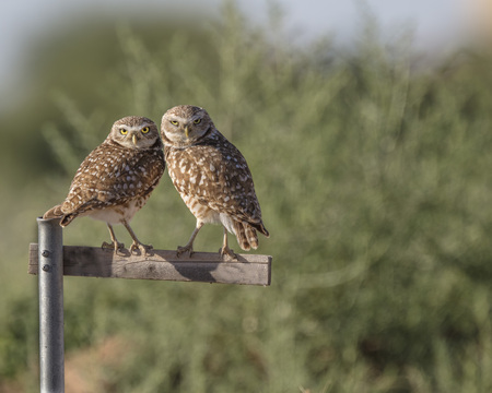 Burrowing Owls on a perch