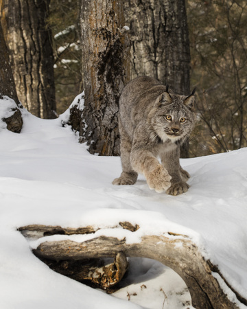 Canada Lynx about to pounce Stock Photo
