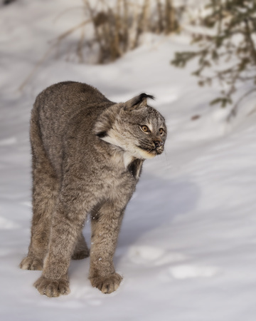 Canada Lynx shaking the snow out of his ears Imagens