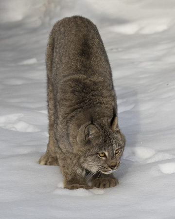 Canada Lynx poised to pounce