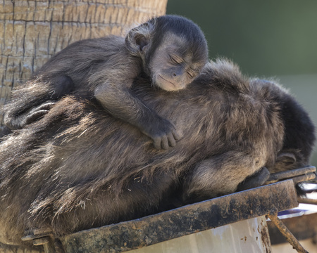 Black Tufted Capuchin monkey with infant