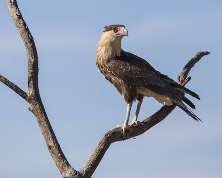 Crested Caracara on a branch